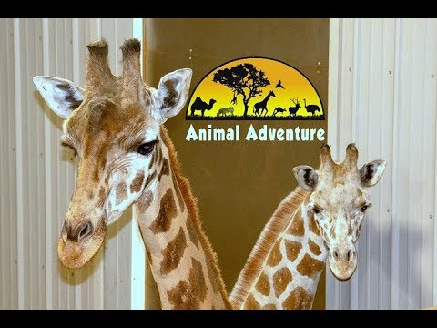 Tajiri the Giraffe Cam - Animal Adventure Park