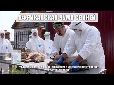 Фильм: Африканская чума свиней