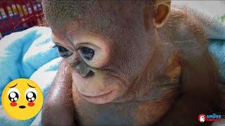 Piccolo orangotango sofferente e denutrito salvato dalla prigionia