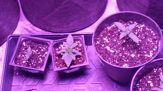 Beginner growers guide episode 4. Starting the vegetative cycle of your cannabis plant