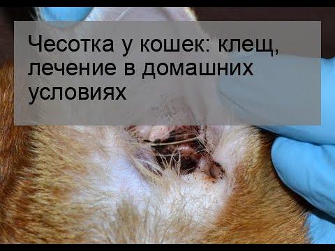 Чесотка у кошек: клещ, лечение в домашних условиях