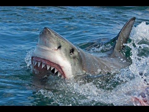 Miami Beach Sharks -HD
