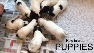 How to start to wean puppies 4 week old puppies have their first semi-solid meal