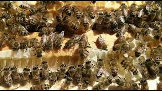 Bees - A Metaphor For Human Behaviour, Society & Politics