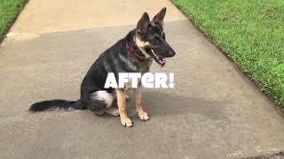 "7 month old GSD ""Scout""/ german shepherd trainers / behavior modification trainers orlando"