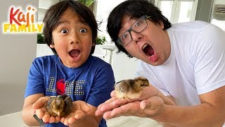 We adopted New Baby Pet Chickens!!! Are they boys or girls???