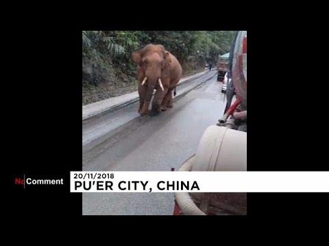 العرب اليوم - شاهد: ضيف صيني ثقيل الظل والوزن يدخل القُرى فيقطع الطريق