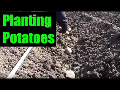 , title : 'Potato Planting with a Tractor