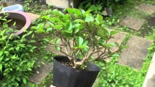 サルスベリTさるすべり・百日紅盆栽の販売と育て方・作り方bonsaitree