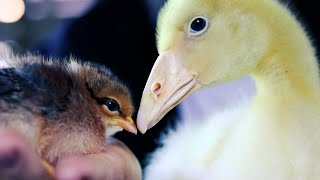 Baby Chicks meet Baby Goose For The FIRST TIME