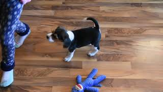 Gorgeous AKC Beagle Puppies Family Raised Ch Lines