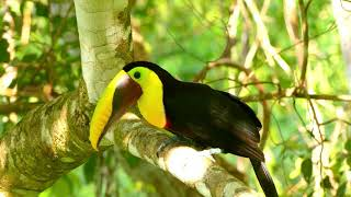 Gorgeous Black mandibled Toucan And Keel-billed Toucan | Wild Costa Rica | 4K Ultra HD