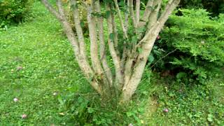 A Properly Pruned Rose Of Sharon Shrub
