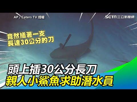 開曼群島的海裡竟然有鯊魚頭上插著一把30公分的長刀,潛水員熱心救援