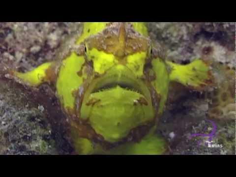 Anglerfisch/Frogfish, Bonaire,Niederländische Antillen
