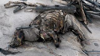 Pyroklastischer Strom tötet eine Kuh