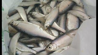 9 января 2015. Зимняя рыбалка. Бешеный клев уклейки на мормышку.
