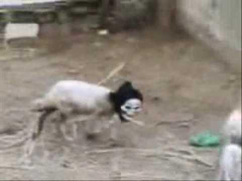 Pecora travestita spaventa le sue coinquiline ★ Anche gli animali hanno un cervello