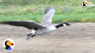 Lost Goose Follows Man Back To Lake | The Dodo