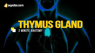 Thymus Gland | Anatomy Video Lectures | Medical Student | V-Learning™ | sqadia.com