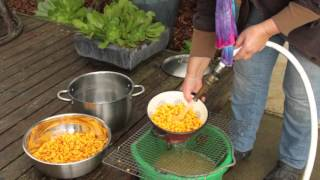 Make Organic Corn Tortillas From Scratch - With Whole Dried Corn and a Food Processor