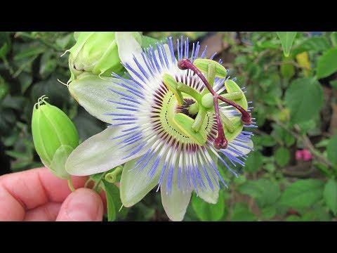 Голубая пассифлора в домашних условиях , выращивание и уход.