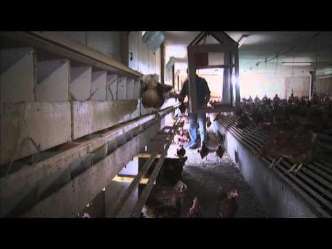 COCORETTE choisit l'élevage responsable et développe l'emploi local