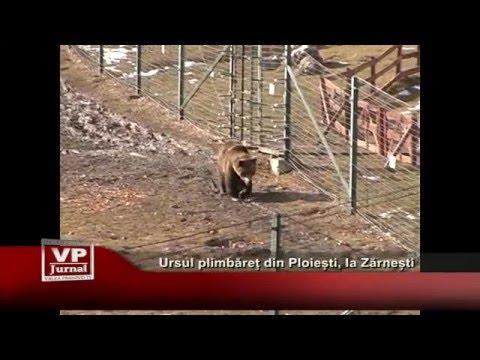 Ursul plimbaret din Ploiesti, la Zarnesti