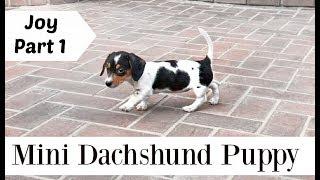 Mini Dachshund Puppy | Meet Joy | Cuttest Puppy Video | Maria Maria Dantas