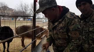Гиссарские бараны. Анвар Рустемов +77017224679(ватцап) Шымкент, Казахстан