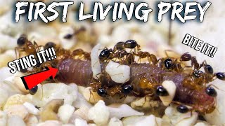 FIRE ANTS KILL THEIR FIRST LIVE PREY | Surprising Predatory Reaction