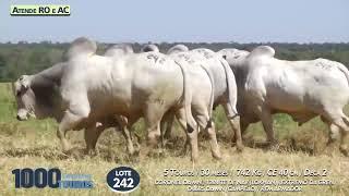 5 touros Nelore PO  (Atende RO e AC)