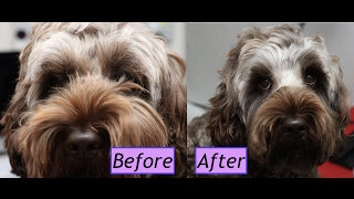 How to groom a Cockapoo face - Demo