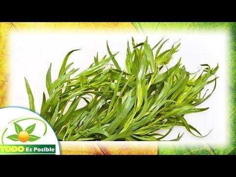 para que sirve el estragon especia - propiedades del estragon planta medicinal