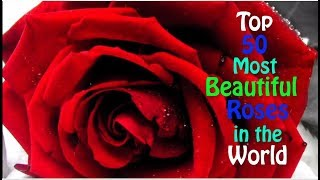 Top 50 Most Beautiful Roses in the World