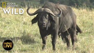 Safari Live - Day 277 | Nat Geo Wild