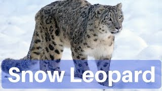 Environment & Ecology - Snow Leopard