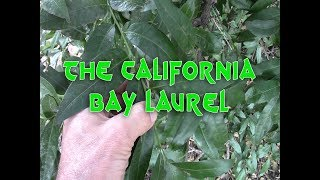 The California bay laurel