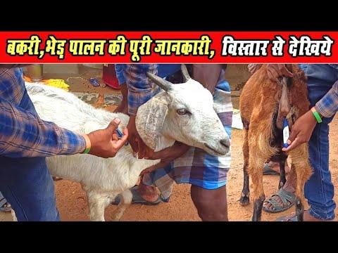 बकरी ,भेड़ पालन की पूरी जानकारी विस्तार से।। Full Information Of Goat Famring & Sheep Farming