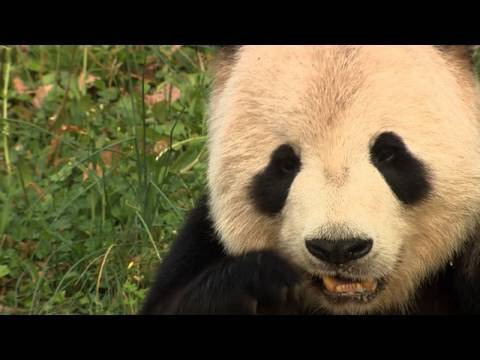 Inside the National Zoo's Hormone Lab (Giant Panda Pregnancy Watch)