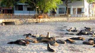 preview picture of video 'Wounded Galápagos sea lion pup searching mum'