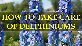 HOW TO TAKE CARE OF DELPHINIUMS PLANTS