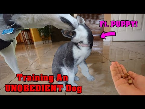 Siberian Husky Training | Timid Siberian Husky Puppy Meets Alpha Male