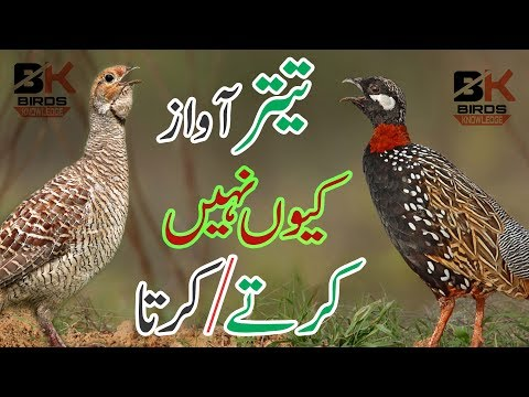 Why || Teetar Not Call Sound|| Teetar Aur Awaz || In Hindi / Urdu