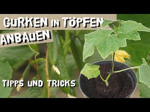 Gurken in Töpfen/Kübeln erfolgreich anbauen - so gelingt es!