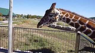 Feeding My Pet Giraffe