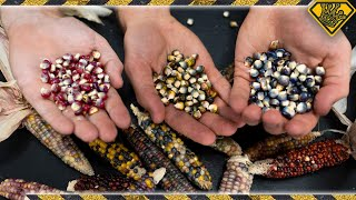 Does Colored Corn Turn Into Colored Popcorn?