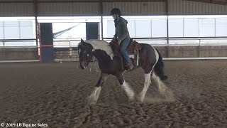 Registered Gypsy Vanner Mare - FOR SALE- Great western dressage/ranch riding Prospect.
