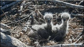 Big Bear Eagles ~ Little Escapees! Simba & Cookie Climb Out Of Nest Cup! Closeups 4.27.19