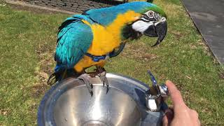 Parrot and Drinking Fountain: Diego Splash n Fly💦 ☀️😎